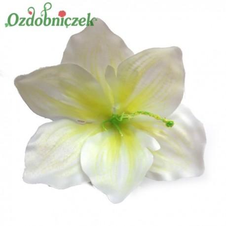 Amarylis biało żółty - główka kwiatowa