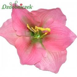 Amarylis róż - główka kwiatowa