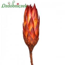 Protea SMOCZY KWIAT naturalny suszony 40 cm