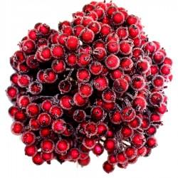 Dzika róża oszroniona BORDOWE WINO podwójna gałązka 400 owoców